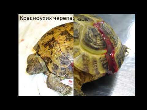 Ошибки при содержании красноухих черепах