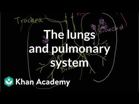 The lungs and pulmonary system  Health & Medicine  Khan Academy