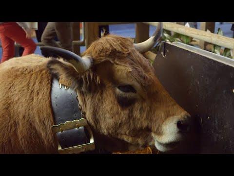 Haute la vache star du salon de l 39 agriculture m t o for Vache salon de l agriculture