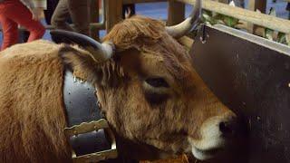 « Haute », la vache star du salon de l'agriculture - Météo à la carte