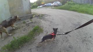Смоленск. Гуляю с собакой 30/05/2019