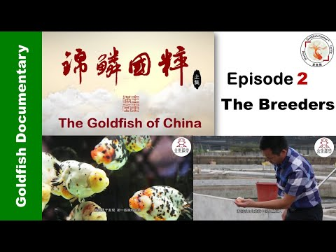 "Goldfish Of China 2 ""The Breeders"