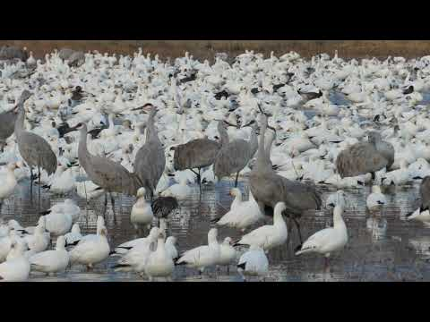 Sandhill Cranes and geese at Bosque del Apache, New Mexico