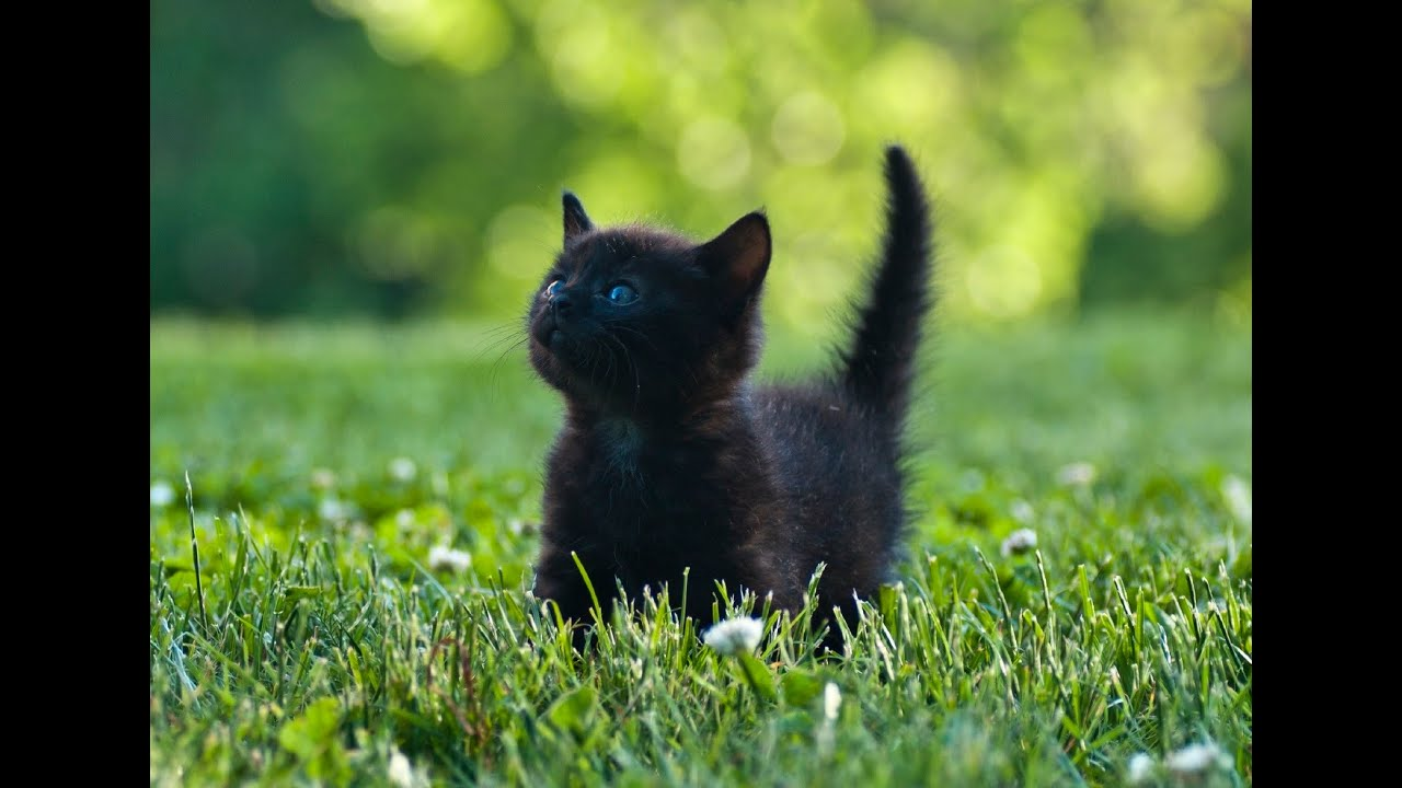 Adopt All Black Cat
