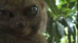 Dramatic Lemur - Actually a Tarsier!