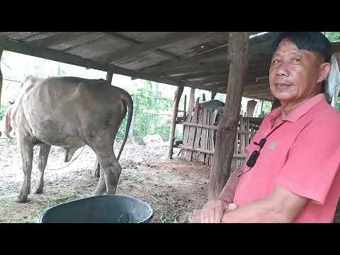 ซื้อมาเลี้ยงไปขายไป  จับวัวเป็นเห็นกำไร  ไม่เน้นรูปแบบฟาร์ม.  (เปิดราคาหลายตัว  093-2761682)