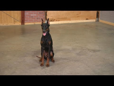 Look At This!  Beautiful Doberman 'Midus' 10 Mo's Obedience/Protection Dog Elite Level Executive