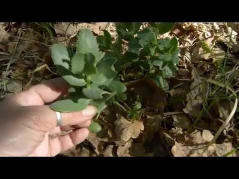Очиток - заячья капуста, скрипун-трава