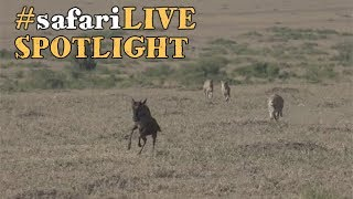 safariLIVE stalks the plains from a predatory perspective. thumbnail