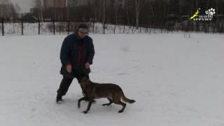 Дисциплинарная дрессировка собак, подчинение поводку в теме команд сидеть лежать стоять, ОКД