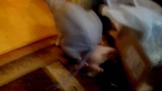 Вязки донских сфинксов
