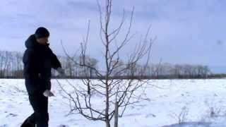Обрезка плодовых деревьев груши(Обрезка дерева груши летний сорт Августовская роса. Возраст 4 года. http://isaevsad.ru/, 2014-03-19T12:01:42.000Z)
