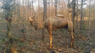 что делает верблюд в лесу индии?