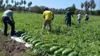Cultivo de Sandia en Atoyac (Pakal)