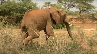 Injured Elephant Calf Finds A Supportive Herd | Secret Life Of Elephants | BBC Earth