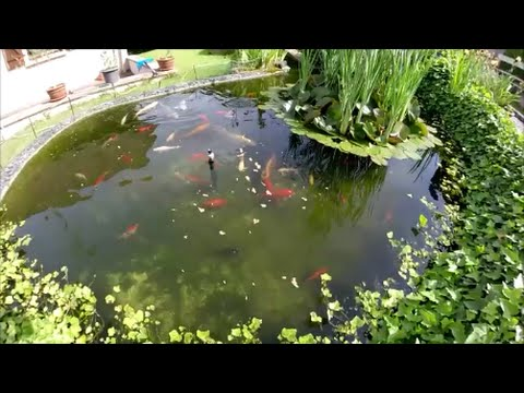 Bassin de jardin poisson rouge carpe ko youtube for Creer bassin poisson exterieur