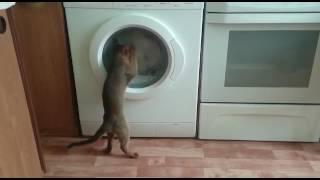 Абиссинская кошка стирает
