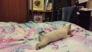 Сиамская кошечка Сима