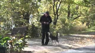 Oakley (siberian Husky) Puppy Camp Dog Training Demonstration