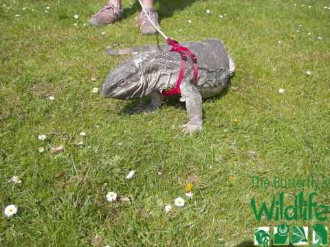 Walking With African White Throated Monitor Lizard Youtube
