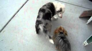 Yorkshire Terrier Vs. Border Collie