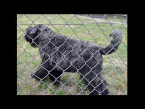 National Bouvier Des Flandres Club August get together