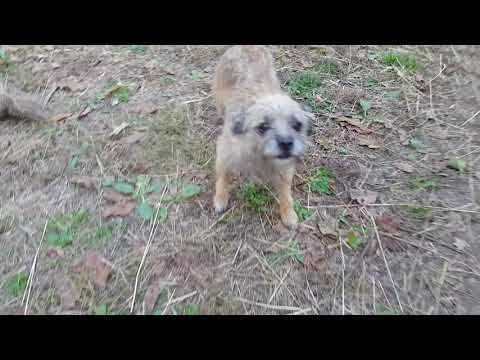 Border terrier - puppies for sale regularly