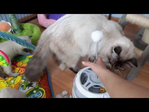 Bellaneva Cattery- Neva Masquerade kittens. Litter A and B- 6 weeks.