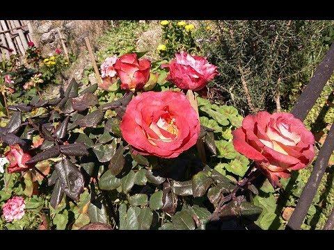 Como sembrar esquejes de rosales / forma clasica