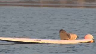 Морской котик серфингист