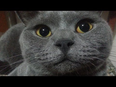 Barney The British Shorthair Meets The Neighbours Cat For The First Time