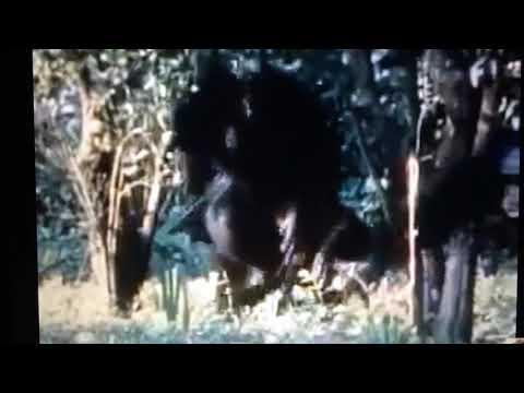 Реакция приматов и Шимпанзе VS чучело Леопарда