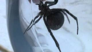 Black widow in Greeley, Colorado