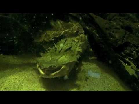 Behind the Scenes: Mata Mata Turtle Feeding | California Academy of Sciences