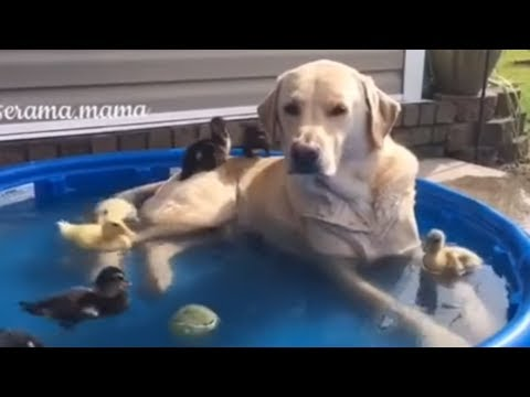 Labrador dog lounges in pool with baby ducks - YouTube