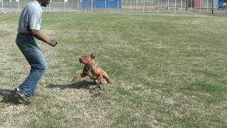 Nashville Dog Trainer Guy 022: Training A Pitbull Intermediate Obedience.