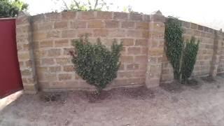 Как плющ разрастается по забору, который сделан из камня ракушечника