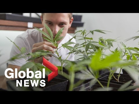Weed is legal: This is how you grow marijuana at home