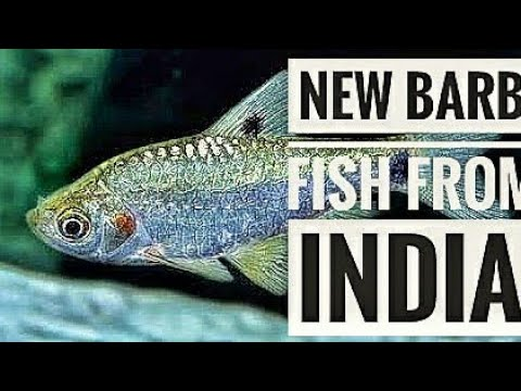 New BARB Fish From INDIA | Aqua Adventure |