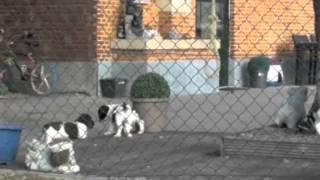 Engelse Springer Spaniel Pups In Het Bolkshof