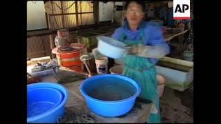 Japanese pearl harvesting underway