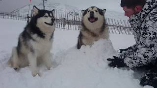 寒さに強すぎ!雪だるまにされても余裕のハスキー