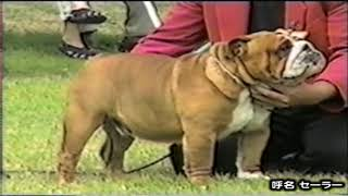 (キング・ブル犬舎 基礎犬) ぺットアス・ハーベーアツ・ノーボズ 94...