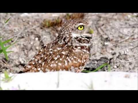 Burrowing Owl... Keepin' it Clean