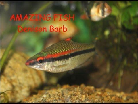 Denison Barb: Amazing Fish