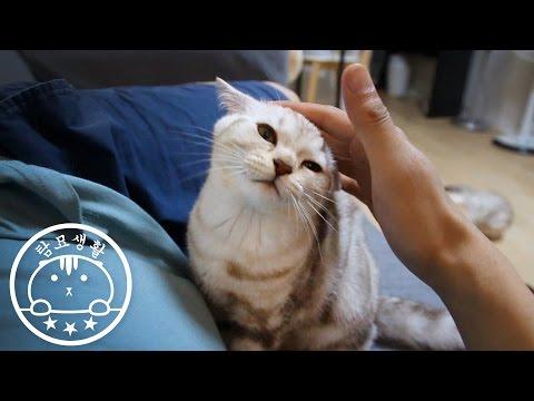 놀아달라고 애교피는 고양이 Please play with me.[탐묘생활] scottish fold cat