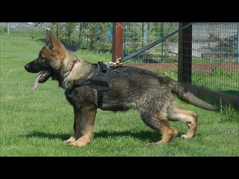 Oscar Katargo / from 3 to 4 months old / GSD puppy