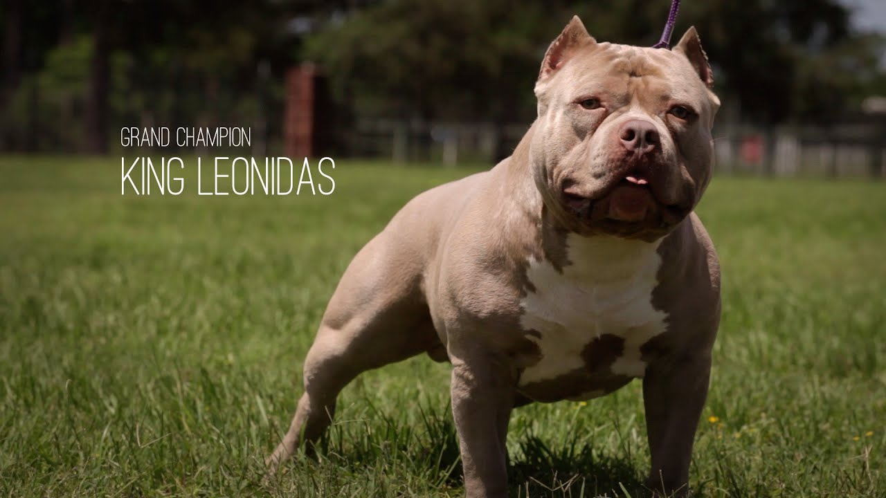 AMERICAN BULLY GRAND CHAMPION - KING LEONIDAS