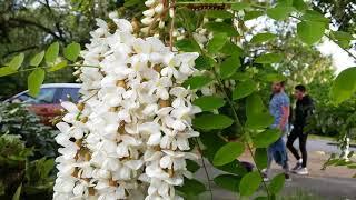 Hoa keo Acacia. Acacia fleur