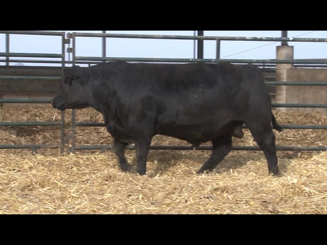 Schiefelbein Angus Farms Lot 57
